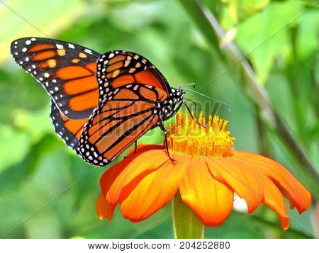 Monarch butterfly on the red flower in garden on bank of the Lake Ontario in Toronto Canada September 12 2017