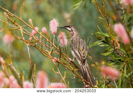Red Wattlebird perched among red wattles in Kings Park, Perth, Western Australia, Australia.