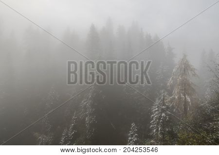 Forest With First Snow