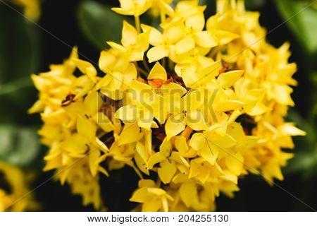 Yellow flower spike Rubiaceae Ixora coccinea in the garden