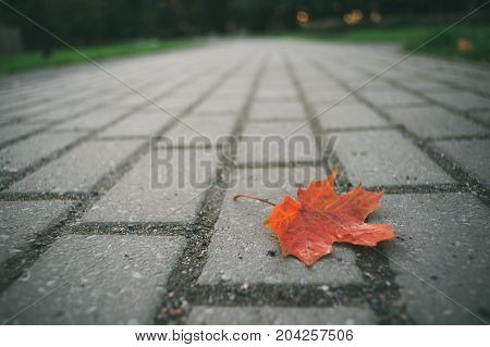 Fallen red maple leaf on pavement shallow depth of field