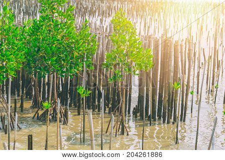 Mangrove forest planting for Nature Sea wall or Coastal Protection in Thailand