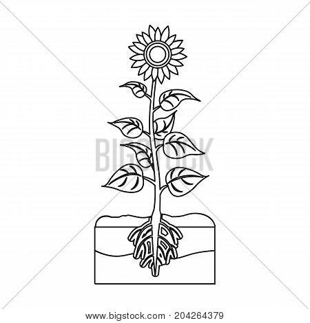 Sunflower, single icon in outline style.Sunflower vector symbol stock illustration .