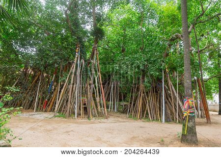 Bodhi Tree Crutched Ritual Of Thai Tradition Of Northern Temple Of Thailand.