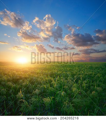 Millet field (sorghum) green field agriculture landscape field of millet on a sunset sky background