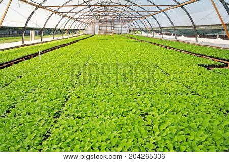 Greenhouse sprouts of chinese cabbage in a greenhouse