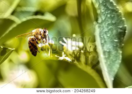 Honey Bee collecting pollen at a white flower