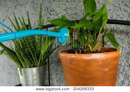 blue watering can giving water to orchid plant with aloe vera plant in the back close up