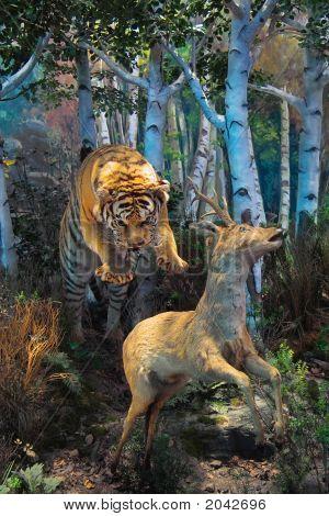 Tiger Aggress Roe Deer