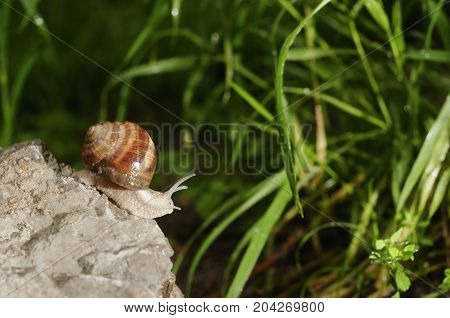 Roman Snail known as Helix, edible snail, escargot, Burgundy snail on the rock in the garden after rain