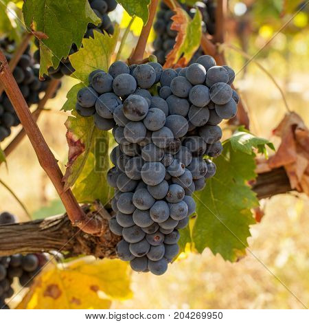 Bunches of ripe grapes before harvest .