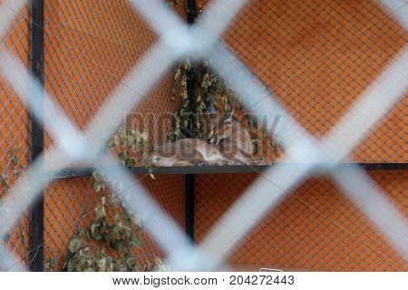 big beautiful cat behind bars , beautiful, big, cat feline