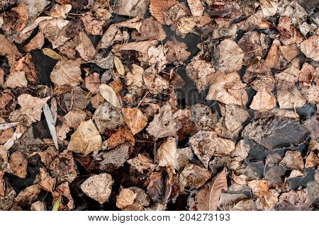 Texture Of Dry Poplar Leafs On The Ground. View From The Top.