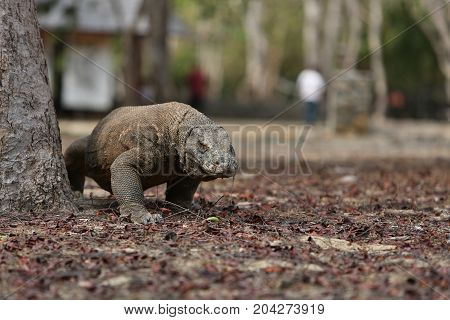 Gigantic komodo dragon in the beautiful nature habitat on a small island in Indonesian sea, Varanus komodoensis, very dangereous wild animals, prehistoric creatures on forgotten place on the earth.