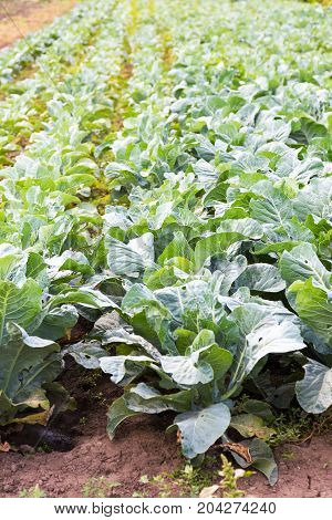 Cabbage Field. White Cabbage. Brassica Oleracea. Growing The Vegetables In The Farm. Rich Crop.