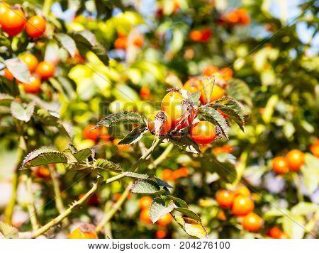 Rose Hips. Briar Wild Rose Hip Shrub In Nature. Selective Focus