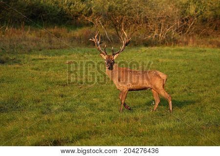 Red deer male blows deep during the deer rut in the nature habitat of Czech Republic, european wildlife, wild europa, deer rut, Cervus elaphus.