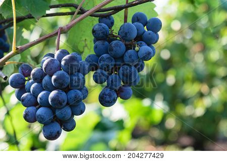ripen blue black grapes - hanging grapes from grape vine