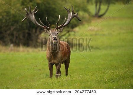 Big and beautiful red deer during the deer rut in the nature habitat of Czech Republic, european wildlife, wild europa, deer rut, Cervus elaphus.