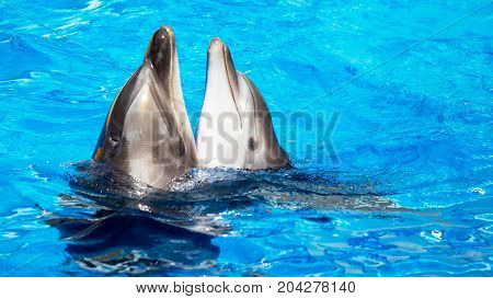 Glad Beautiful Dolphin Smiling In A Blue Swimming Pool Water On A Clear Sunny Day