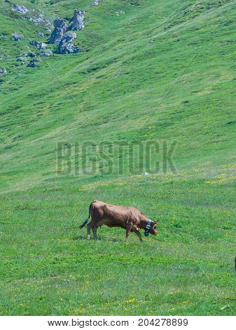 Grazing cows and mountain green alpine landscape