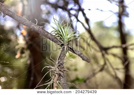 parasitic plant known as air carnation sud america