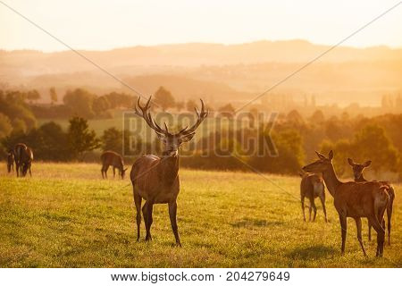 Big and beautiful red deer during the deer rut in the nature habitat of Czech Republic, european wildlife, wild europa, deer rut, Cervus elaphus.