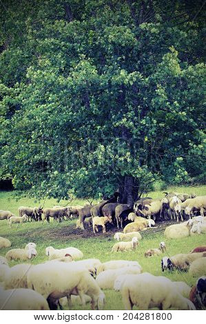 Flock With Many Sheep Grazing Under The Great Tree In The Mounta