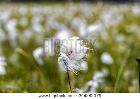 White cotton flower on background of others cotton field Iceland
