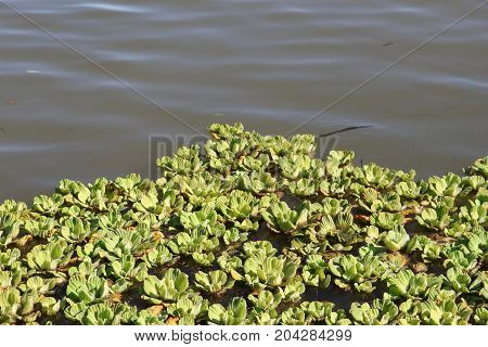aquatic plants camalotes known as water repollitos