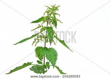 Stinging nettle (Urtica dioica) flowering plant isolated against white background