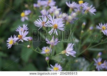 Macro photo of alpine aster aster alpinus . Decorative garden plant with purple flowers on focus