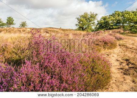 Pink and purple flowering heather in the foreground of a dune