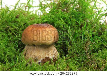 Cep in moss (Boletus edulis) - studio shot