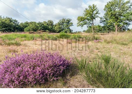 Common broom and pink flowering heather in the foreground