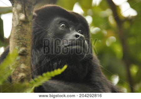 Black howler a mammal on a tree in the jungle. Panama. Central America.