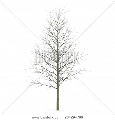 Young poplar tree without leaves. Isolated over white background. 3D illustration