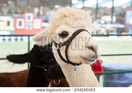 Alpacas At Farm Fair