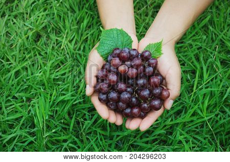 ripe grape in hand farmer show on green grass