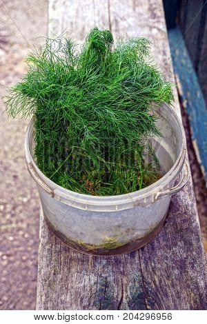 Green bunch of dill in a plastic bucket on a wooden bench