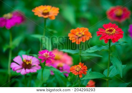 Isolated focus on beautiful red zinnia flower with juicy green leaves