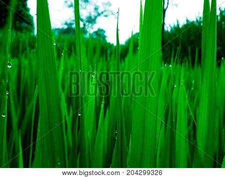 Morning dew on rice crop in rice farm of rural india