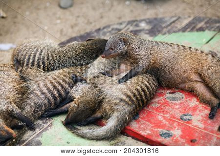 Peacefully sleeping mongooses at the zoo. Shallow depth of field. Selective focus.