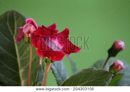 beautiful Indoor flowers gloxinia on green close to