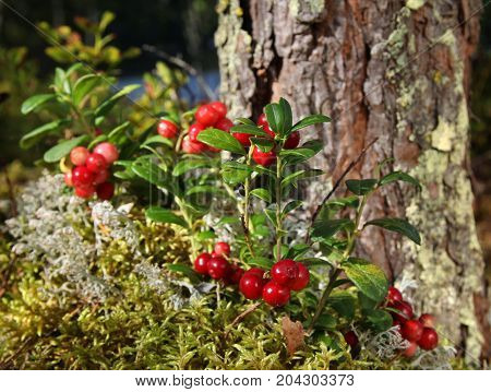 Fresh wild lingonberries growing on moss near a pine tree