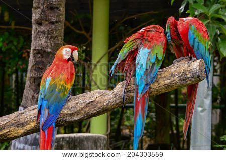 Poultry is a family Psittacidae Macaw is a large bird family hookworm. Popular culture because the colors are beautiful tame and could imitate people.