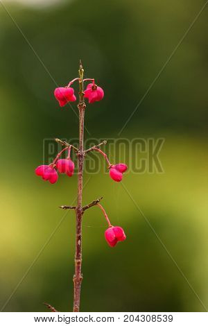 Close up beautiful flowering branch of European spindle flower or Euonymus europaeus