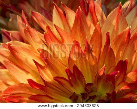 beautiful leaves of the dalia background, beautiful, beauty, bloom,