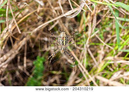 Wasp spider or Argiope bruennichi on its web