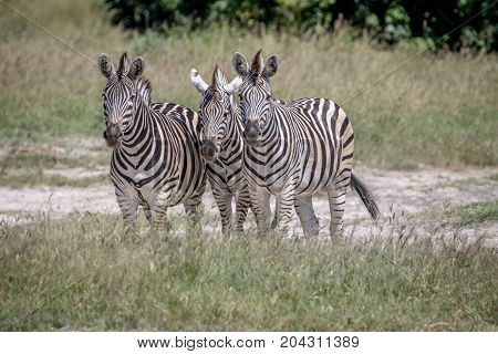 Three Zebras Starring At The Camera.